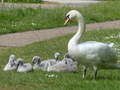 Family. Swan Watching Her Family