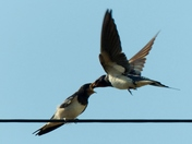 Family. Adult Swallow Feeding Young