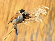 male reed bunting.cley marsh,.