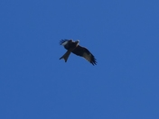 Red Kite,a rare sight in Suffolk.