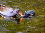 Moorhen feeding chick