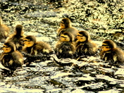 Family of ducklings