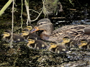 Family of ducklings with mum
