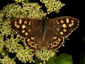 Spring butterflies 4