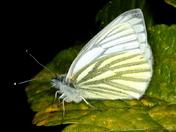 Spring Butterflies 5