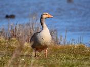 grey lag goose cley marsh
