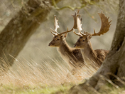 Stags at Holkham.