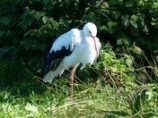 Family. Stork
