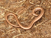 The Beautiful Slow Worm