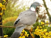 Pigeon in the forsythia.