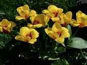 Tulips blaze in the spring sunshine