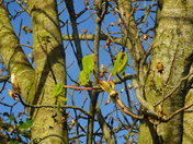 horse chestnut, first sign of spring