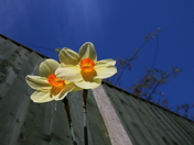 Spring: Daffodils and Blue Sky.