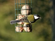 Great tit on the feeder