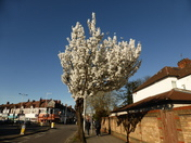 Blossoming Tree on Crane brook Road Ilford