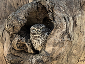 Little Owls enjoying the spring sunshine.