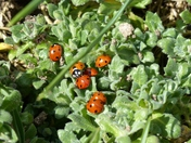 Ladybirds Coming Out In TheSun