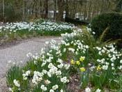 Spring. Daffodil Walk