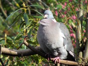 THE WOOD PIGEON