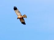 Marsh Harriers in flight