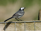 The Pied Wagtail