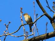 The Blackcap Warbler