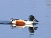 The Shoveler Duck