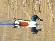 The Shoveler Duck