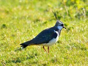 lapwing --woodpigeon--meadow pipit   cley marsh.
