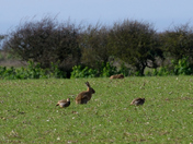 Hare & Partridge.