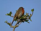 Cute robin.
