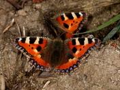 Spring Butterflies 3