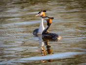 Strumpshaw, Great Crested Grebes