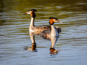 Great Crested Grebes on the Yare