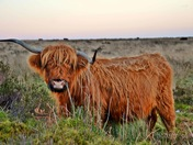 The photogenic highland cow