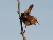 Pole dancing,singing wren.