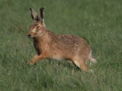Spring hare 2