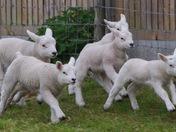 Happy lambs!