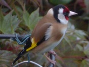 Gold finch in garden