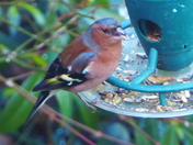 Chaffinch at feeder