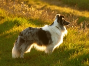 Tanzi my Sheltie backlit by the late evening sun.