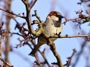 house sparrow cley marsh