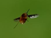 More Bee Flies.