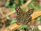 Speckled wood Buttrfly