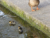 Mum duck with ducklings.
