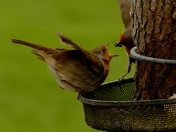 Robin feeding its mate.