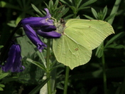 Yellow Brimstone butterfly 1