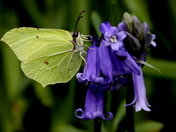 Yellow Brimstone butterfly2
