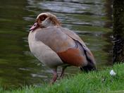Egyptian Goose.