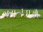 Something Green, Green Field with Whoopers & Berwick's